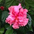 【日本初上陸・巨大輪の希少種】美しいピンク色の八重咲き! ハイビスカス 'Captain Cook'  4号ポット苗