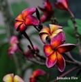 【4月下旬以降発送】バリ島生まれの幻のプルメリア 'Jamaica Fire' 苗木(接木苗・3.5号鉢)・世界的に希少なバリ島品種