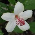 【ハワイ固有種】希少なハワイの原種ハイビスカス 'Waimeae' 3号ポット苗