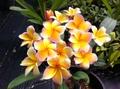 香りの良い人気の米国系プルメリア 'Del Ray Peach' 接木苗(5号鉢)ピーチの香りがとても強い人気品種!