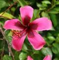 【美花品種】ハイビスカス 'Fiji Island' 3号ポット苗