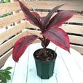 【希少種・1点モノ】ティーリーフの木 Ti Plant 'Chocolate'  5号ロングスリット鉢(赤葉品種)