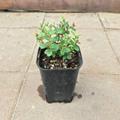 【ハワイの固有種】オヒアレフア Ohia Lehua(小葉タイプ) 3.5号ロングスリット鉢