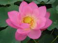 ロータス オイル (Pink )