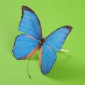 し)幸せの青い蝶(30336)