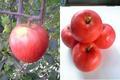 余市産「さんさ」りんご 4.5~5kg 20~23玉