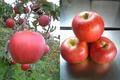 余市産りんご-未希ライフ(みきらいふ) 20-23玉 5kg詰め