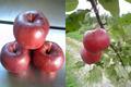 余市産りんご「レッドゴールド」 5kg 20-23玉