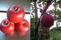 北海道余市産りんご「紅玉(こうぎょく)」 4.5kg 20~25玉