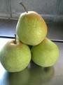 北海道余市産「千両梨」 3kg 5-8玉