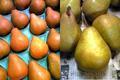 余市産の洋ナシ「オーロラ」 5kg 16-20玉詰