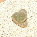 helmutii Fritz335 青磁玉