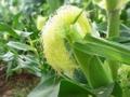 知り合い農家さんのトウモロコシ