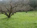 石綿さんの自然栽培梅干し用完熟梅1kg