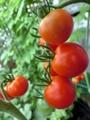 【お得2P】あつみ農園の濃厚中玉トマト