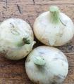 無茶々園の新玉ねぎ大袋1kg(5~6個)