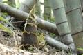 石綿さんの自然栽培の筍水煮パック500g