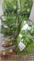 小海の的埜さんの水菜or赤紫水菜