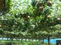 赤見梨園の大玉の梨「新高」