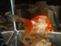 12.純国産魚で自家産!琉金(白勝ち更紗1匹)(弐歳魚)