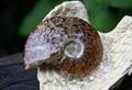 メノウ化 アンモナイト(クリオニセラス)化石(中)