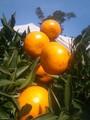 【熊本・鹿児島】◎贈答用◎鶴田有機農園の瀬戸香 約3kg(約17~25玉)