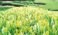 【モグラ栽培茶】深蒸し新茶(新茶) 300g(100g×3本)【化粧箱入り】