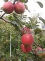 【長野県産】松川有機農業研究会の冬りんご(サンふじ)約5kg(14~18玉)