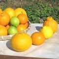 【熊本・鹿児島】 家庭用★春の柑橘4種詰合せ 約5kg