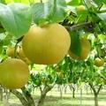 【家庭用】松川有機農業研究会の和梨(豊水)約3kg