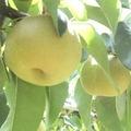 【家庭用】松川有機農業研究会の和梨(南水)約3kg