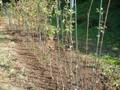 ミラベルの苗木