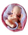 6ヵ月胎児モデル