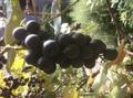 自然栽培 ぶどう(種あり)500グラム