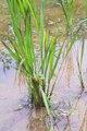 水稲の栽培方法について