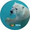 釧路市動物園オリジナル缶バッチ ホッキョクグマ キロル