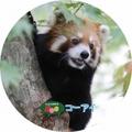 釧路市動物園オリジナル缶バッチ レッサーパンダ コーアイ