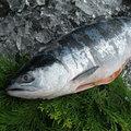 ★保証付★【北海道産】特上秋鮭 一本姿 新巻鮭 2.8kg~3.0kg前