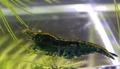 オッケーブルー(青いミナミヌマエビ)Aグレード(自家繁殖)
