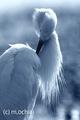 [オリジナル写真]コサギ Little egret 「洗い髪のように」A4