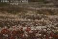 旭岳 高山植物チングルマの紅葉(大雪山系)ランクB
