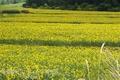 広大なひまわり畑(美瑛町)
