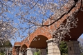 桜(横浜 港の見える丘公園)