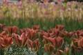 チューリップ 赤緑(横浜公園)ランクB