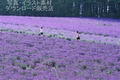 2人のラベンダー畑(中富良野町)ランクA