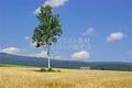 麓郷展望台 モノローグの木(白樺の木)(富良野市東麓郷)ランクA