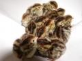 並鶉の種卵・1パック(10個)
