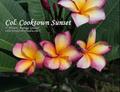 【発根苗予約】プルメリア Col's Cooktown Sunset  ベアルート発根苗【2月25日で予約〆切】