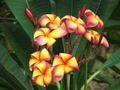 【接木苗予約】プルメリア Thai Orange Splendor ベアルート発根苗(希少品種)【2月25日で予約〆切】