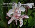 【発根苗予約】プルメリア Peppermint Twist ベアルート発根苗【2月25日で予約〆切】